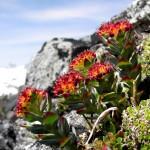 rhodiola-rosea_integrefolia