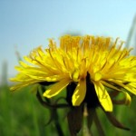 dandelion loves to help you cleanse!