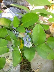 Oregongrape_wild_ripe