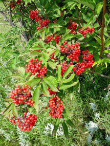 Lovely Red Elderberry.