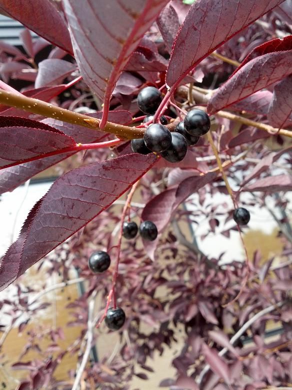 chokecherry_red