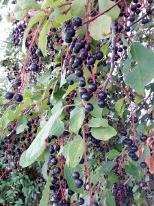 chokecherry_ripe