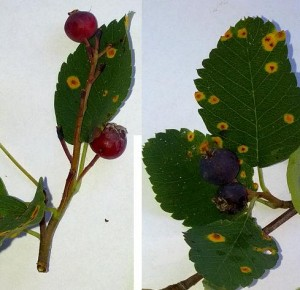 Compare red, unripe berries with fully ripe purple ones.